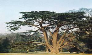 flourish-as-the-cedar-tree