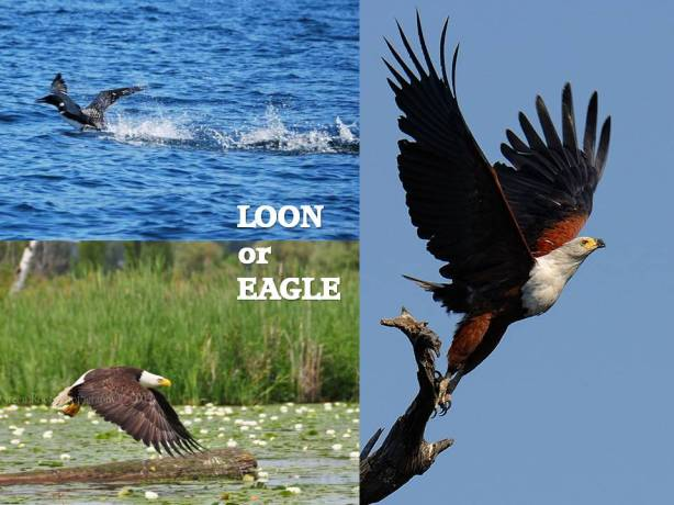 Loon or Eagle
