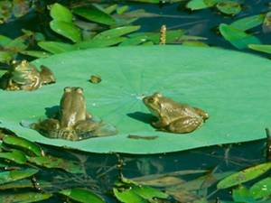 Three frogs deciding to do nothing but sit